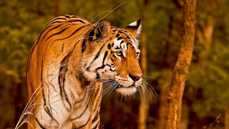 Tigress 'Collarwali' in Madhya Pradesh's Pench Reserve Sets Record by Giving Birth to 30 Cubs Over 10 Years!