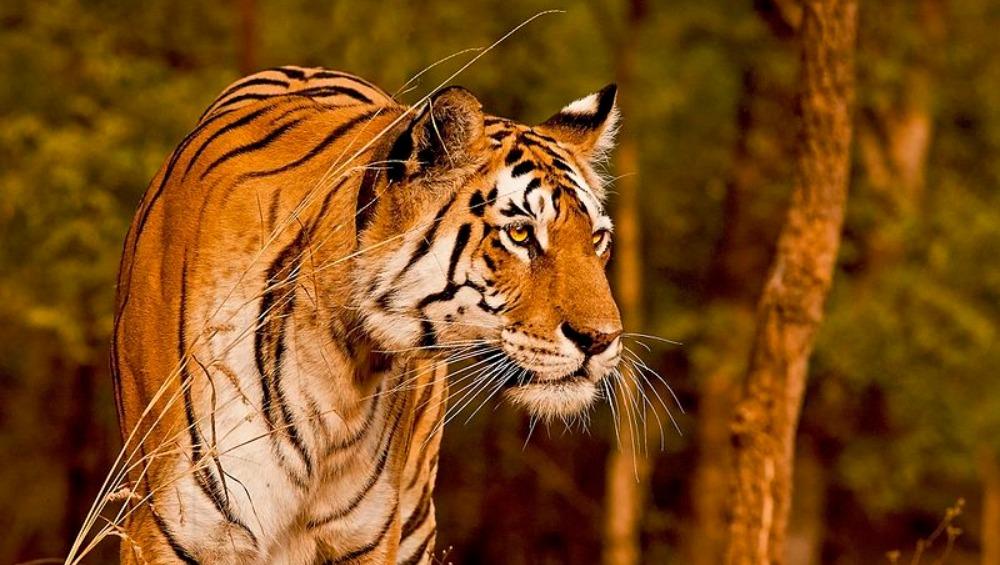 Uttar Pradesh: 10-Year-Old Tigress Found Dead in Dudhwa National Park