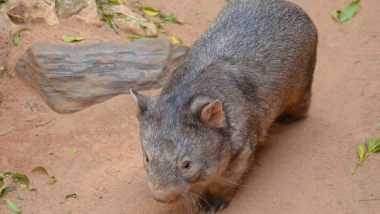 Australia Wants Travellers to Respect Wombat Privacy and Stop Taking Selfies