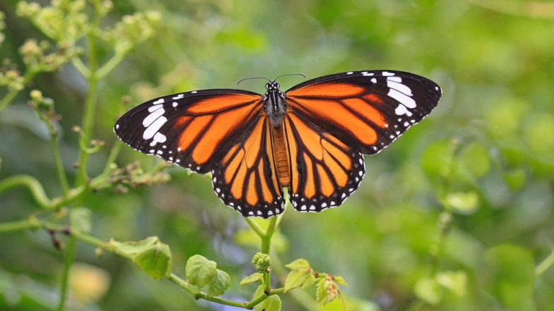 California's Monarch Butterfly Population Reduces by 86% Since 2017! Fewer  Than 30,000 Remain