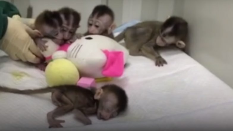 Chinese Researchers Clone 5 Gene-Edited 'Insomniac' Monkeys to Study Human Psychological Problems (Watch Video)