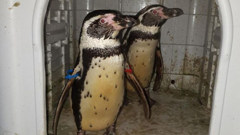 Two Humboldt Penguins in Nottinghamshire Missing for Two Months Return to the Zoo; Thanks to Kind Cops