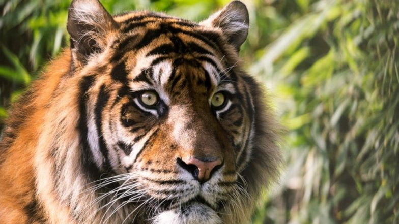 Rajasthan: 40-Year-Old Woman Mauled to Death by Tiger in Sawai Madhopur