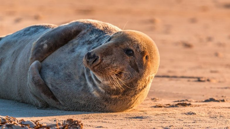 Female Seal With Plastic Net Around its Neck at Norfolk Coast Spotted, Heartbreaking Pic Goes Viral