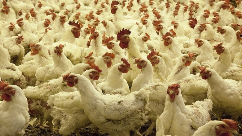 Genetically Modified Chickens Offer Hope for Cheaper Drugs: Study