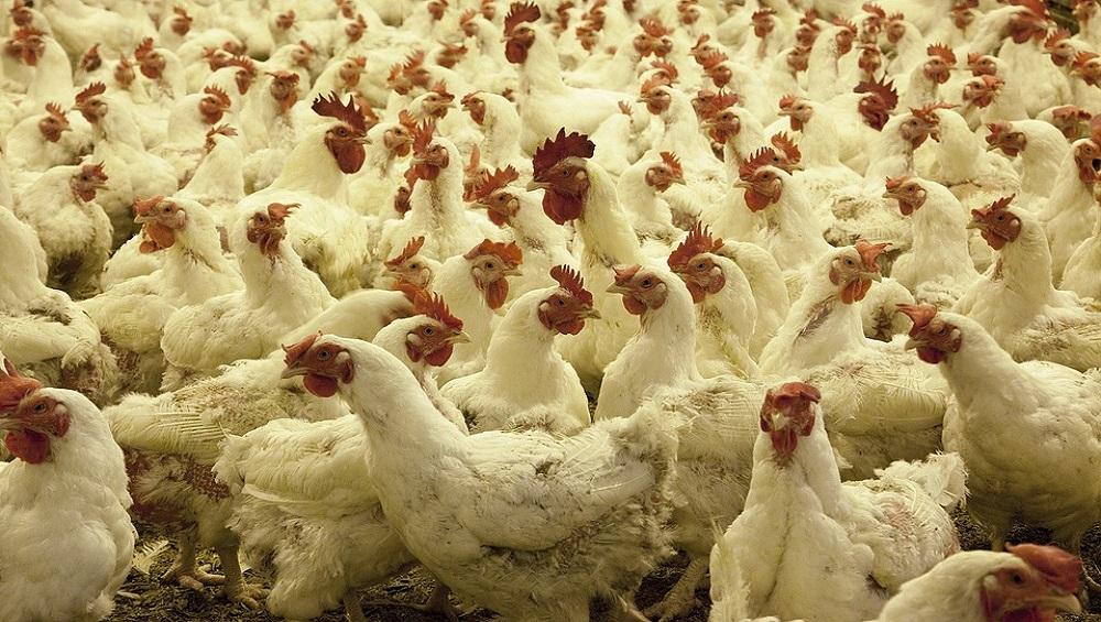 Newcastle Disease in Andhra Pradesh: Over 2,500 Poultry Farm Birds Killed Over Suspicion of VVND in East Godavari