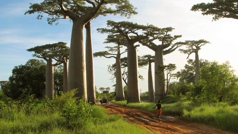 Ancient Baobab Trees Called 'Tree of Life' Are Slowly Dying Due to Climate Change in Southern Africa: Research