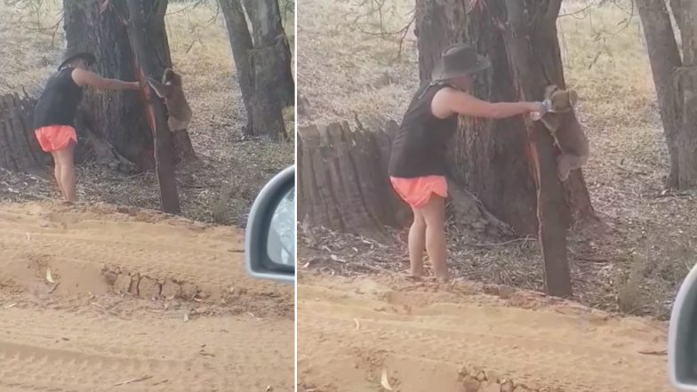 Thirsty Koala Drinks Water From Bottle Amidst Heatwave in Australia, Video Goes Viral