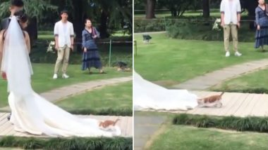 Cute Cat Riding on the Train of a Chinese Bride's Wedding Dress is Winning Hearts (Watch Video)