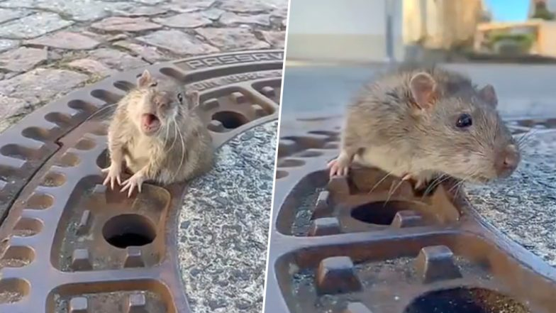 Overweight Rat Rescued by 9 Firefighters After the Rodent Gets Stuck in Manhole Cover (Watch Video)