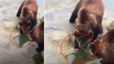 Man Throws iPhone Into Bear Enclosure at China Wildlife Park Instead of Apples; Video Goes Viral