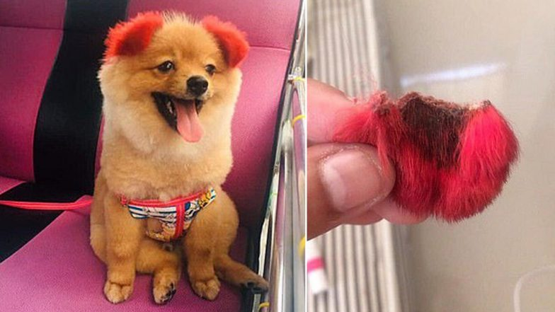 Dog's Ear Falls Off After Owner Colours Them Red! Netizens Slam Thai Woman For Being Cruel and Irresponsible (Watch Video)