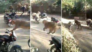 Lioness Runs into Crowd in Gujarat's Porbandar; Scary Video Goes Viral