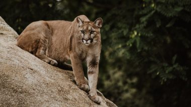 Colorado Runner Kills Mountain Lion with his Bare Hands After it Attacks Him