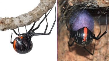 Deadliest Spiders in the World: New Species of Widow Spider Discovered in South Africa Has Lethal Bite, Watch Video