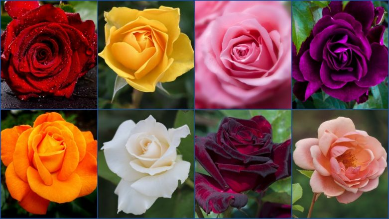Happy Rose Day 2019 Images: Know Meanings of Different Colours of Roses to Wish on the First Day of Valentine Week