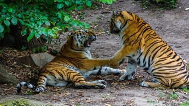 Deadly Love Story During Valentine Week: Tiger Kills Potential Sumatran Mate on First Date at London Zoo