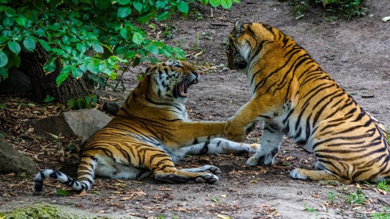 Rare tiger kills prospective mate in first meeting at London Zoo