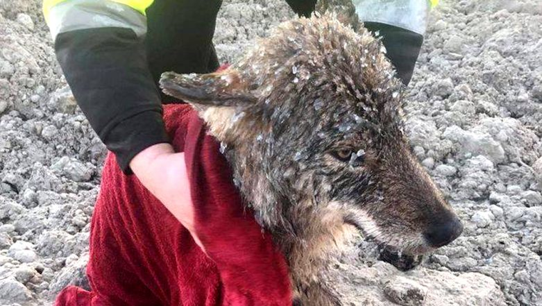 Estonians Rescue 'Dog' From Icy River Only to Realise It Was a Wolf, Pictures Go Viral