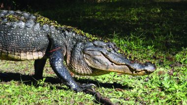Florida Woman Heard Knocks on The Door, Freaked Out to See 10-Foot Alligator Waiting Outside! Watch Video