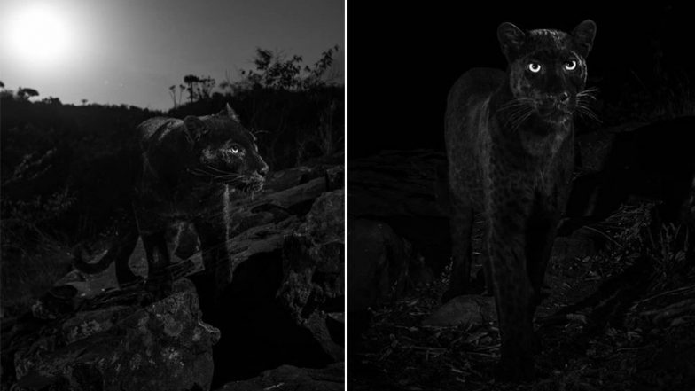 Rare African Black Leopard Photographed For the First Time in 100 Years in Kenya (See Pics)