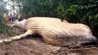 Odisha: 40-Feet Whale Carcass Washes Ashore in Gahirmatha Marine Sanctuary