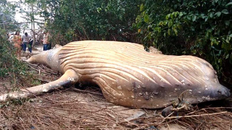 Dead Humpback Whale Found in Amazon Jungle! Scientists Are Figuring How it Got There