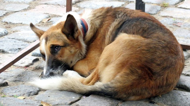 Patna Man Ready to Leave His Wife as She Asked Him to Get Rid of His Dog Who Bit Her Thrice