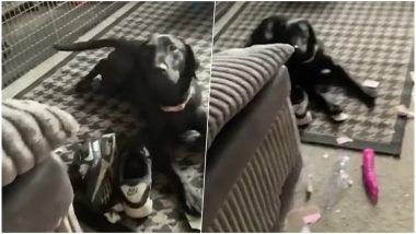 Pet Dog Plays With Dildo He Found Inside Neighbours' Package; Owners Embarrassed, Watch Funny Video