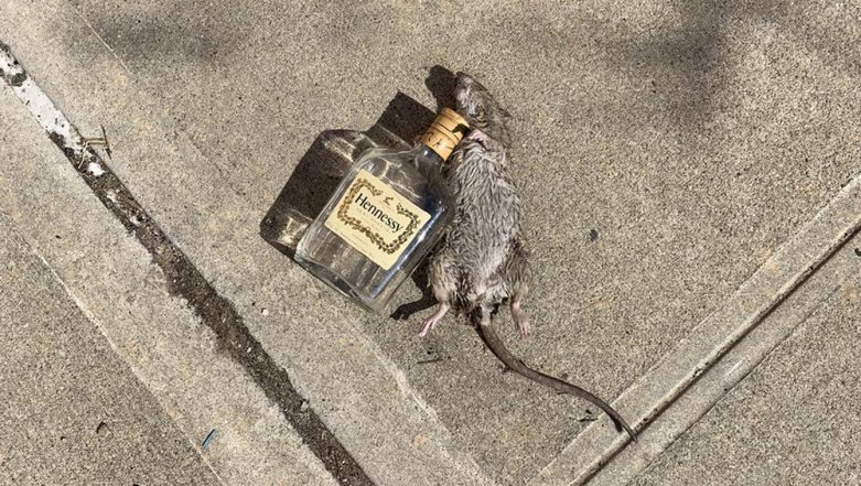NYC: Rat's Picture with an Empty Bottle of Hennessy Goes Viral, Twitter Floods with Funny Jokes and Memes