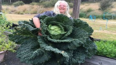 World's Largest Cabbage? Australian Couple Grows Cabbage Almost As Big As a Man! View Pic