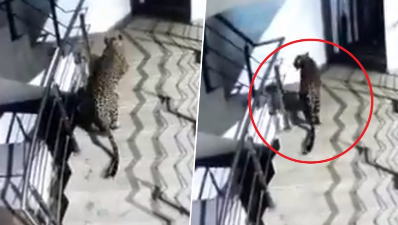 Leopard Spotted Walking in Thane's Korum Mall, Search Operation Underway; Watch Video