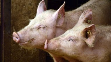 Russian Woman Eaten Alive by Pigs As She Suffers Epileptic Seizure And Collapses in Her Farm