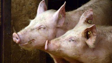 Nipah Virus Scare in Kerala: PETA Asks State Govt To Shut Pig Farms To Prevent Epidemic