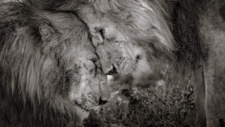 Wildlife Photographer of the Year 2018: Photo of a Heartwarming Moment Between Two Lions Captured in Africa Wins Award