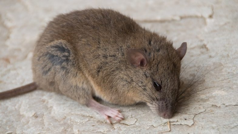 Climate Change Claims Bramble Cay Melomys! Australia Declares the Great Barrier Reef Rodent Extinct Due to Habitat Loss
