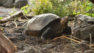 Giant Tortoise Helonoidis Phantasticus Believed to Be Extinct for More Than a Century Found in Galapagos Island (See Pictures)