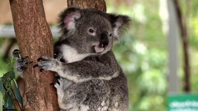 Australian Koala Goes Viral For Its Seduction Skills, Check Hot Picture of the Marsupial!