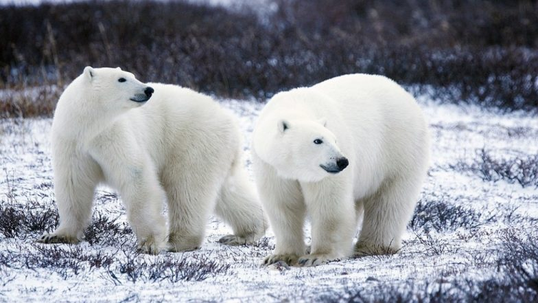 Climate Change Effect: Polar Bears Invade Russian Homes in Search of Food as Arctic Sea Ice Melts