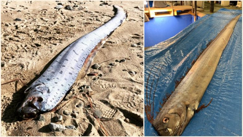 Is Doomsday Arriving? Sightings of Rare Oarfish in Japan Raises Fear of Natural Disaster Among Residents (View Pic)