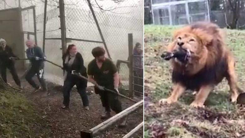 Zoo in England Slammed For Letting Visitors Play 'Tug of War' With Wild Tiger and Lion, Watch Videos