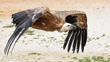 Bearded Vulture, Mia, Gets Titanium Bionic Leg Implant, Becomes World's First Bird to Get a Prosthetic Foot