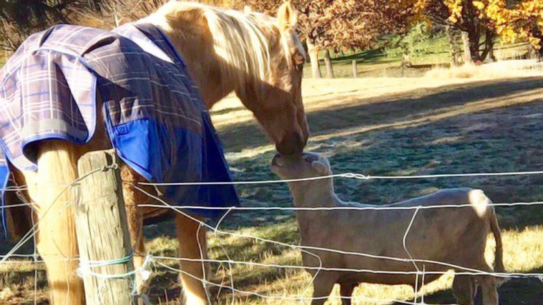 Cute Friendship of a Horse and a Ram Is Going Viral on Twitter for All the Right Reasons (Watch Videos)