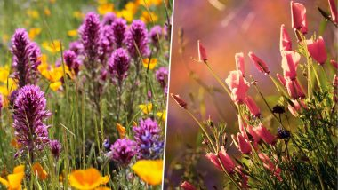 California Witnesses Super Bloom; Colourful Wildflowers Paint Desert Beautifully After Rains (See Pictures)