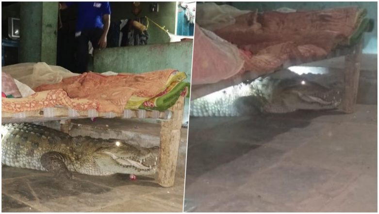 Gujarat Farmer Finds 8-Foot Long Crocodile Under His Bed, View Scary Pics!