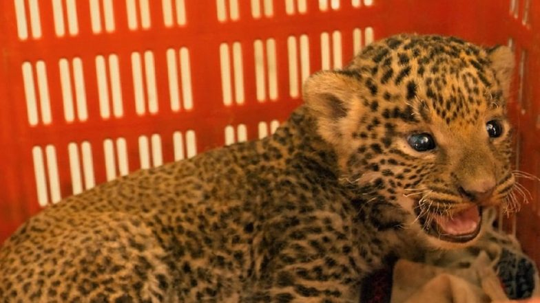 Leopard Cubs Reunited With Mothers After Being Rescued by Forest Department & Wildlife SOS in Maharashtra; See Pics