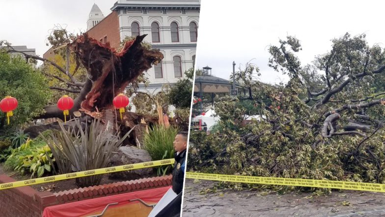 144-Year-Old Iconic Fig Tree at Historic Los Angeles Monument Falls After Recent Weather Change in California (See Pictures)