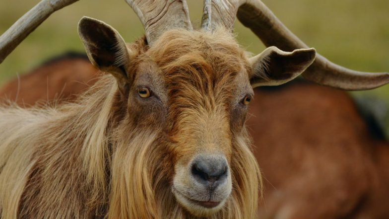 Goat Beats Dogs & Cats! This Vermont Town Elects a Three-Year-Old Goat 'Lincoln' as Their Mayor