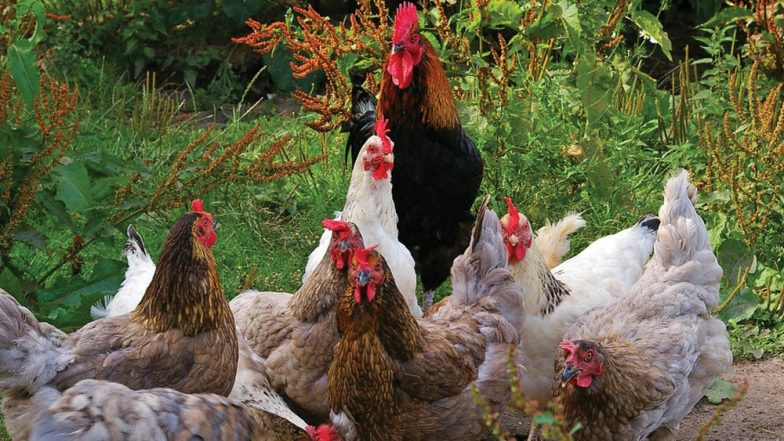 Chickens Gang up And Kill a Fox at a Farm in Brittany, France