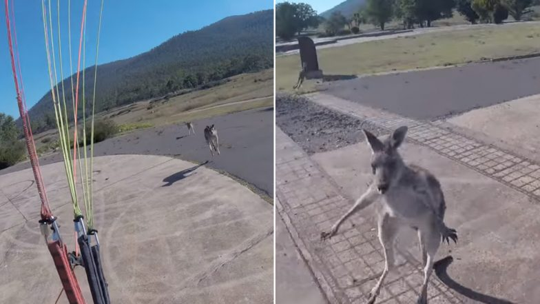 Kangaroo Attacks a Paraglider After Immediately Landing in Their Territory, Watch Funny Viral Video